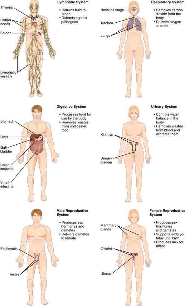 Organ_Systems_II