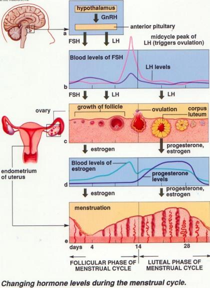 perubahan-hormon-saat-menstruasi