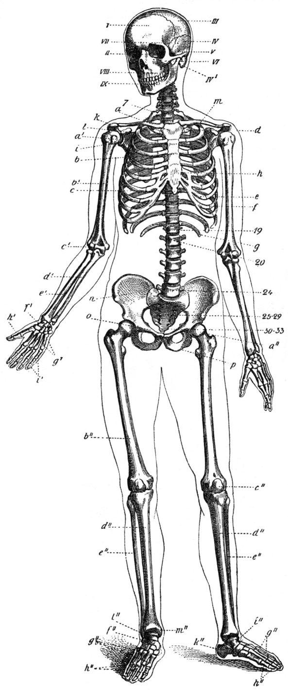 Skelett-Mensch-drawing