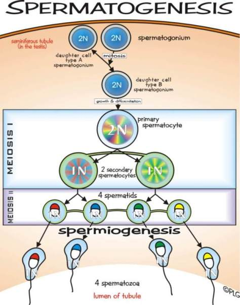 spermatogenesis (1)