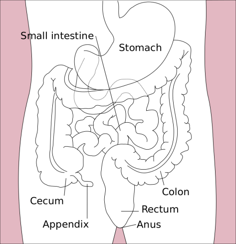 Stomach_colon_rectum_diagram-en.svg