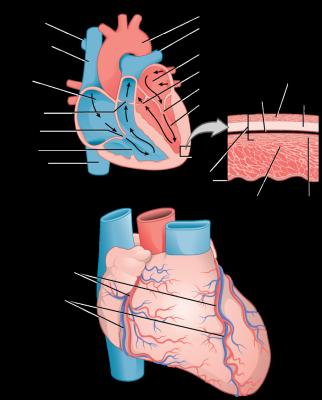 struktur-jantung-1-322x400