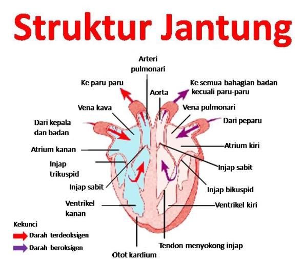 struktur-jantung-manusia1
