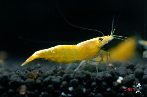 Yellow-Shrimp-Yellow-Cherry-shrimp-for-sale-Neocaridina-heteropoda-var-yellow-information-on-yellow-shrimp-close-up-redcherryshrimp