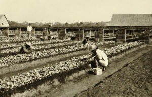 KITLV_-_78321_-_Kleingrothe,_C.J._-_Medan_-_Coolies_working_in_the_seed_beds_on_a_tobacco_plantation_of_the_Amsterdam_Deli_Company_in_Medan,_Sumatra_-_circa_1900.tif