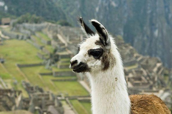 640px-Llama_on_Machu_Picchu