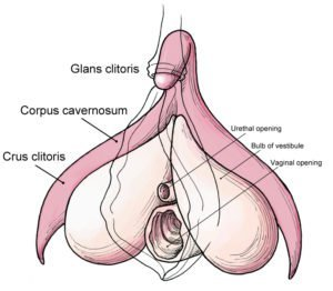 Clitoris_anatomy_labeled-en-300x262