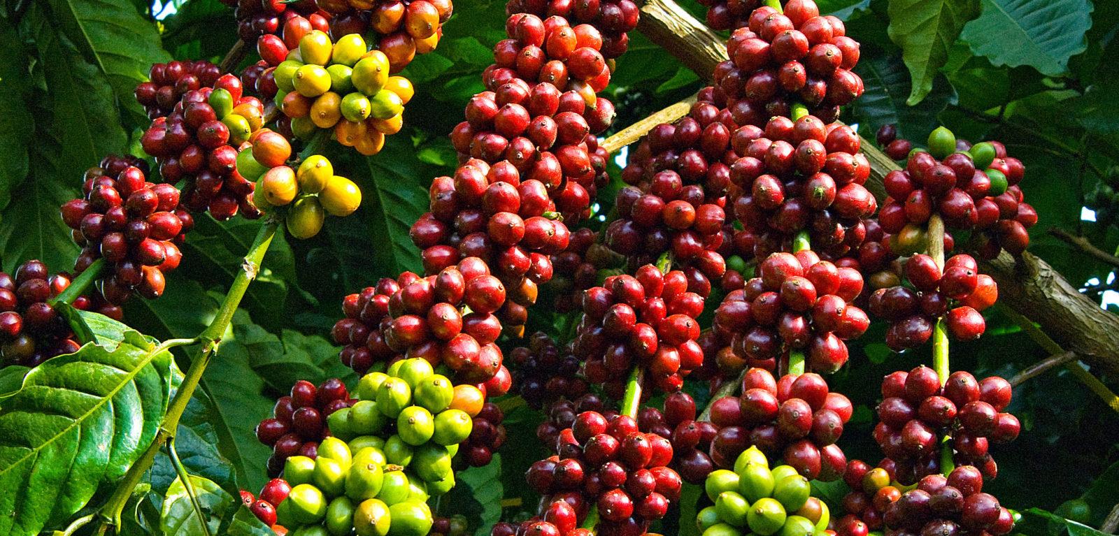 Kopi Sulawesi-Kopi Toraja-Sulawesi
