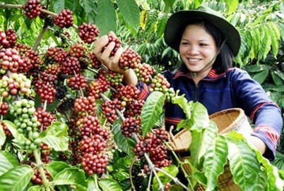 Kopi Sumatera-Perkebunan Kopi aeki