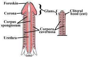 Penile-Clitoral_Structure-300x197