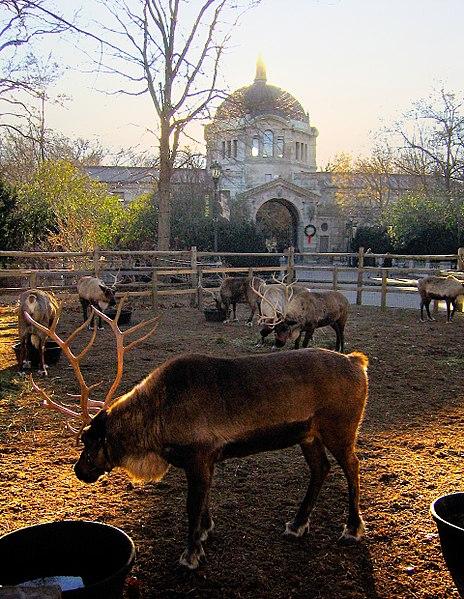 464px-Bronx_Zoo_reindeer